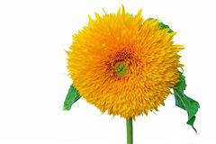Teddy bear sunflower. Isolated on white background - closeup Royalty Free Stock Photos