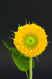 Teddy bear sunflower with leaf Stock Photography