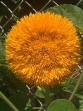 Teddy Bear Sunflower Pom royaltyfri fotografi