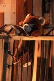 Teddy bear toy bully royalty free stock photo