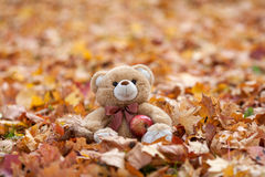 Teddy bear in vintage suitcase in autumn leaves Royalty Free Stock Photography