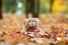 Teddy bear in vintage suitcase in autumn leaves Stock Image
