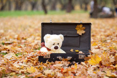 Teddy bear in vintage suitcase in autumn leaves Royalty Free Stock Images