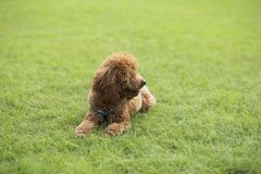 Teddy Dog Photos libres de droits