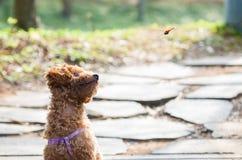 Teddy dog watching a flying dragonfly