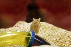 Teddy draagt hamster royalty-vrije stock afbeelding