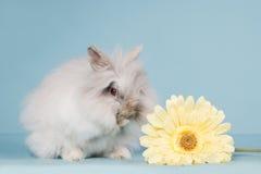 Teddy dwarf rabbit washing Stock Photography
