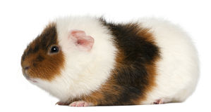 Teddy guinea pig, 9 months old Royalty Free Stock Image