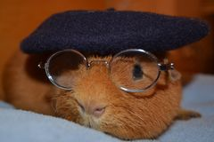 Teddy Guinea Pig with Glasses and Berrett Hat royalty free stock images