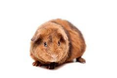 Teddy guinea pig Royalty Free Stock Images