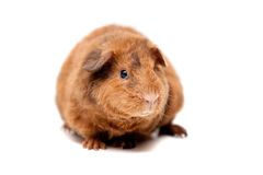 Teddy guinea pig Stock Photo