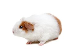 Teddy guinea pig Stock Photography