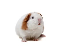 Teddy guinea pig Royalty Free Stock Photos