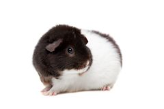 Teddy guinea pig Royalty Free Stock Image