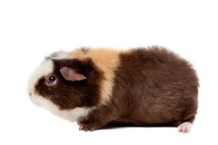 Teddy guinea pig Royalty Free Stock Photography