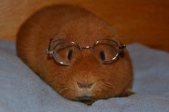 Teddy Guinea Pig mit Gläsern lizenzfreie stockfotografie