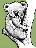 Teddy koala vector illustratie
