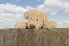 Teddy looking from above a wooden fence Stock Image