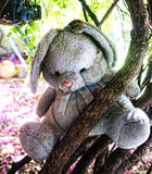 Teddy on tree. An old teddy bear toy left on a tree branch Royalty Free Stock Photo
