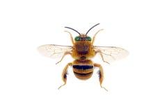 Teddybär-Biene Stockbilder