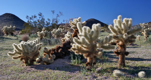 Teddybär Cholla Kaktus Stockfoto