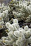 Teddybär Cholla Kaktus lizenzfreie stockfotos