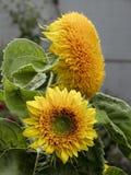 Teddybär-Sonnenblumen - 01 Lizenzfreies Stockbild