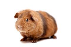 Teddybärmeerschweinchen Stockfotos