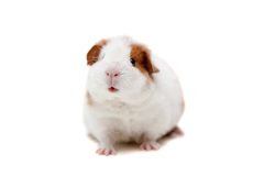 Teddybärmeerschweinchen Lizenzfreies Stockfoto
