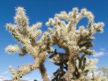 Teddybear Cholla cactus Cylindropuntia bigelovii Royalty Free Stock Image