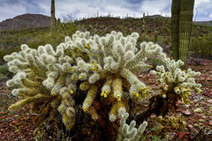 Teddybear cholla cactus Stock Photo