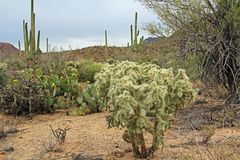 Teddybear Cholla Cactus in the Sonoran Desert. Large teddybear cholla or cane cactus with green fruit in Saguaro National Park, Tucson, Arizona, USA including a Stock Photography