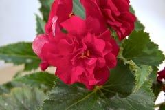 Teder vers Bourgondië, de donkere bloemen en bloemblaadjes B van de begoniabadstof Stock Afbeeldingen