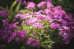 Tedere bloemen van Silene Armeria royalty-vrije stock afbeelding