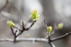 Tedere de lenteaard in park Eerste groene bladeren, de macromening van het boomtakje, selectieve nadruk Mooie bokehachtergrond Stock Foto