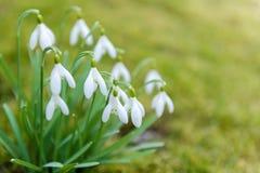 Tedere de lentesneeuwklokjes Royalty-vrije Stock Afbeeldingen