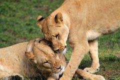 Tedere leeuwinnen die hoofden ontluiken Stock Fotografie