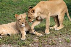 Tedere leeuwinnen die hoofden ontluiken Royalty-vrije Stock Afbeeldingen
