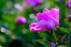 Tedere natte roze bloem royalty-vrije stock foto