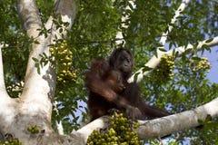Tedere orangoetans Royalty-vrije Stock Foto's