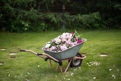 Tedere pioenen in de kar in de tuin Royalty-vrije Stock Afbeeldingen