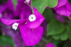 Tedere roze phalaenopsisorchidee op vage achtergrond De zachte mooie bloemen worden gezien in een artistieke samenstelling hybrid royalty-vrije stock foto