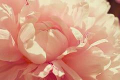 Tedere roze pioen Royalty-vrije Stock Foto's