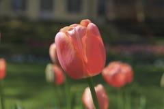Tedere roze tulpensoort Royalty-vrije Stock Afbeeldingen