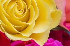 Tedere rozen Stock Afbeelding
