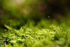 Tedere spruit in het mos Royalty-vrije Stock Foto's