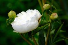 Tedere witte bloem Royalty-vrije Stock Afbeeldingen