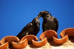 Tederheid tussen twee raven Royalty-vrije Stock Fotografie