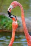 Tederheid van een flamingo Royalty-vrije Stock Foto's