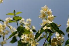 Tederheid van jasmijn royalty-vrije stock foto